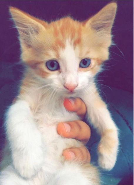 قطة أمريكية صغيرة للبيع  E88