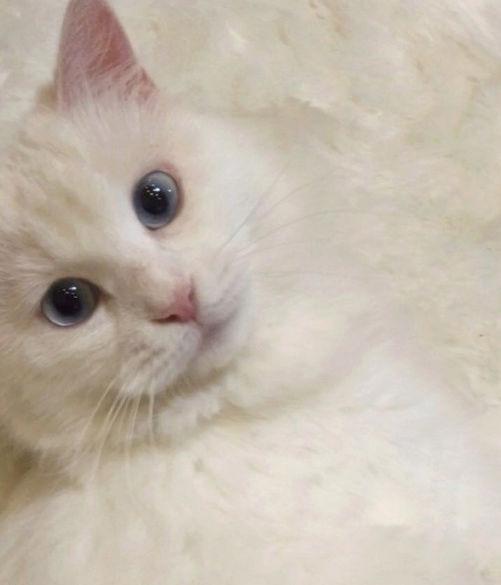قطه اليفة و جميلة للبيع بابها  E89