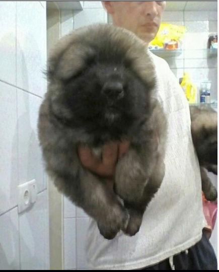 كلب قوقازي جبلي بيور في جده E96