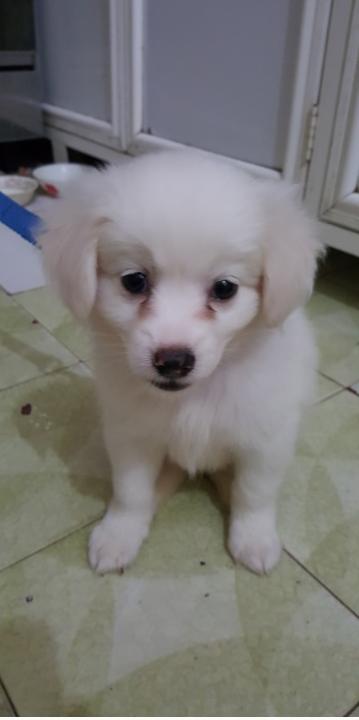 كلب شيواوا لونج هير عمره شهر Ee10
