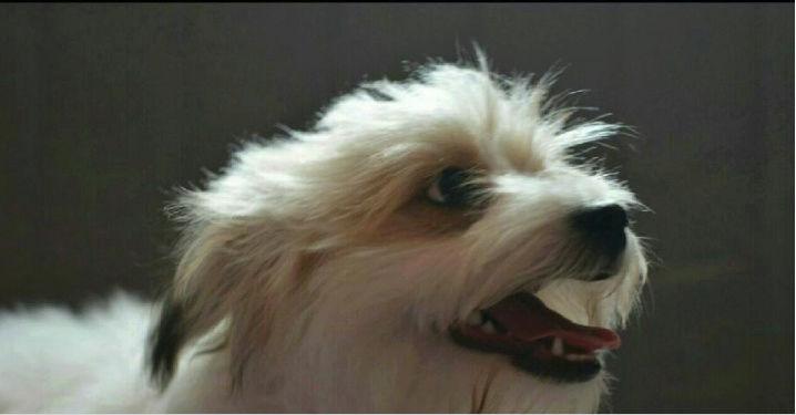 كلب فرنسي مالتيزعمره 3 شهور مع اغراضه  Ee12