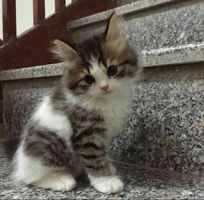 ثلاث قطط بيكن شيرازي في الرياض  Fr10