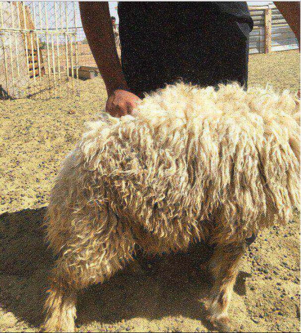 خروف طيب عمره 9 شهور G10