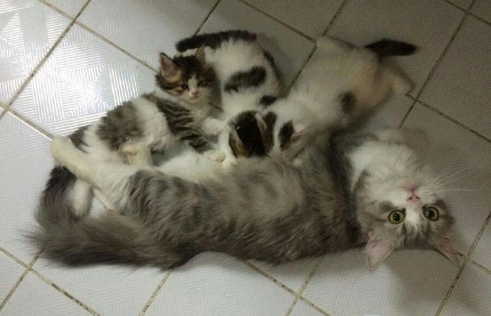 ثلاث قطط بيكن شيرازي في الرياض  Gw10