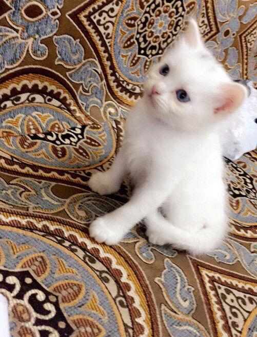 كيتن شيرازي عمرها حوالي شهر و 5 ايام Hj10