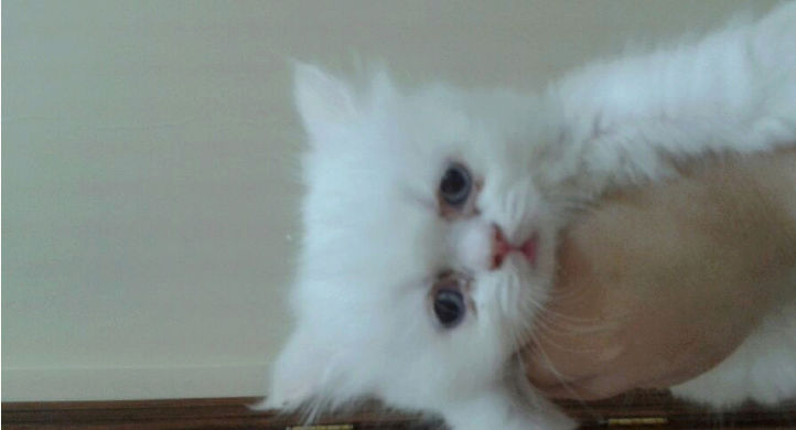 قطط هملايا بيور جميلة للبيع I28