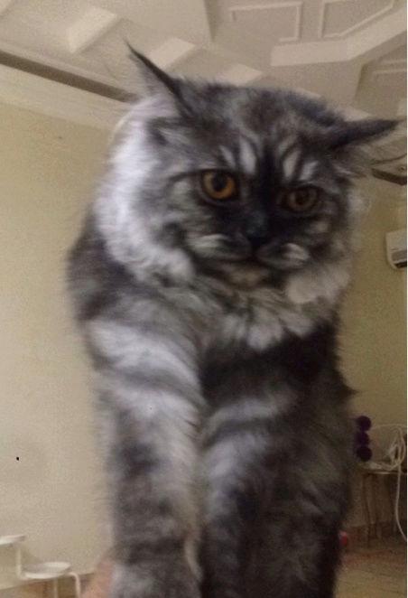 قطه شيرازي معها كل اغراضها  I29