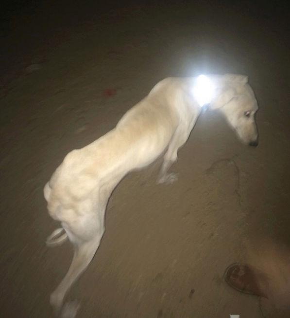 كلب ذكر من نوع سلق I33