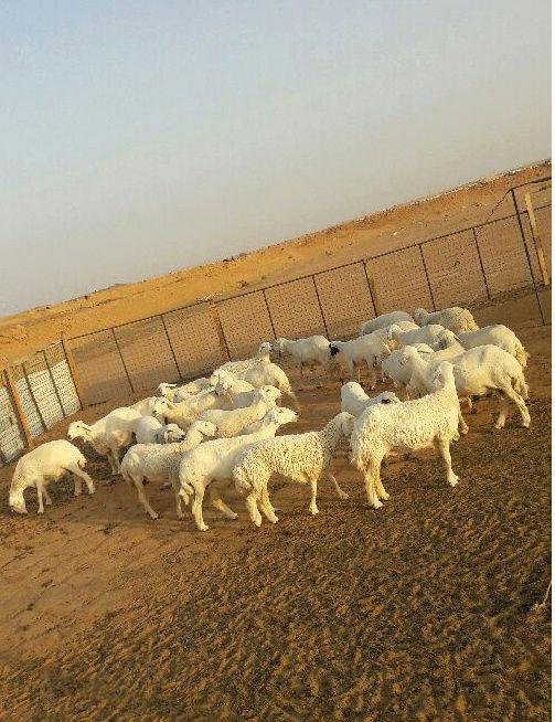 36 راس حريات الرياض I44
