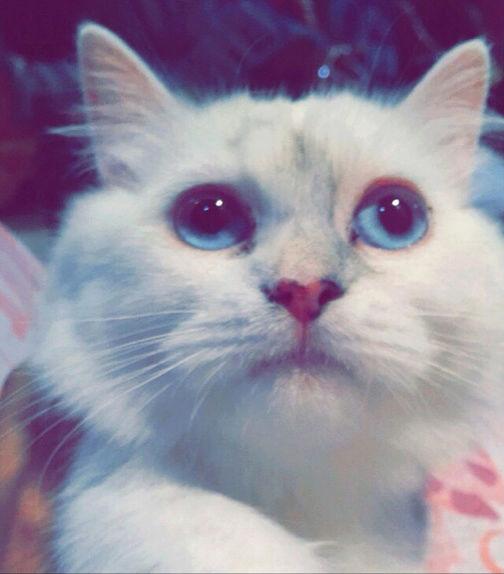 قطه أنثى شيرازي I55