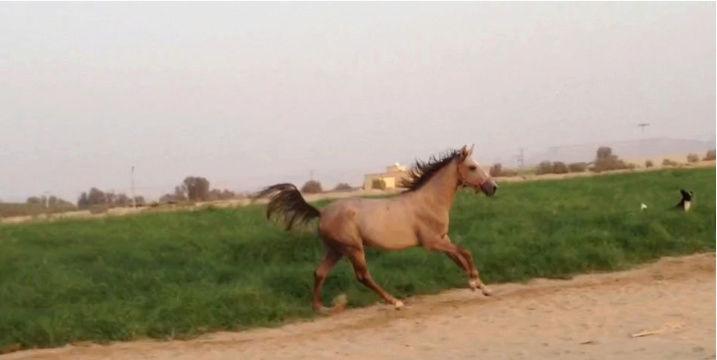 حصان شعبي عمره سنه ونص I67