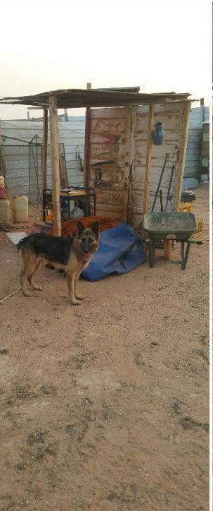 كلب حراسه جيرمن للبيع بالرياض  I74