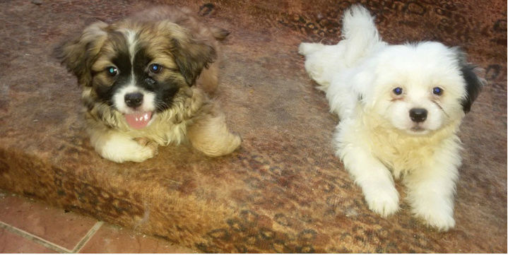 4 كلاب صغيرة مكس شيواوا وميلتس I75