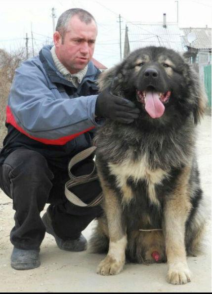 كلب قوقازي جبلي بيور في جده I80