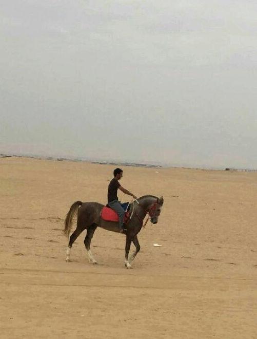 حصان عربي شعبي في نجران  Ii17