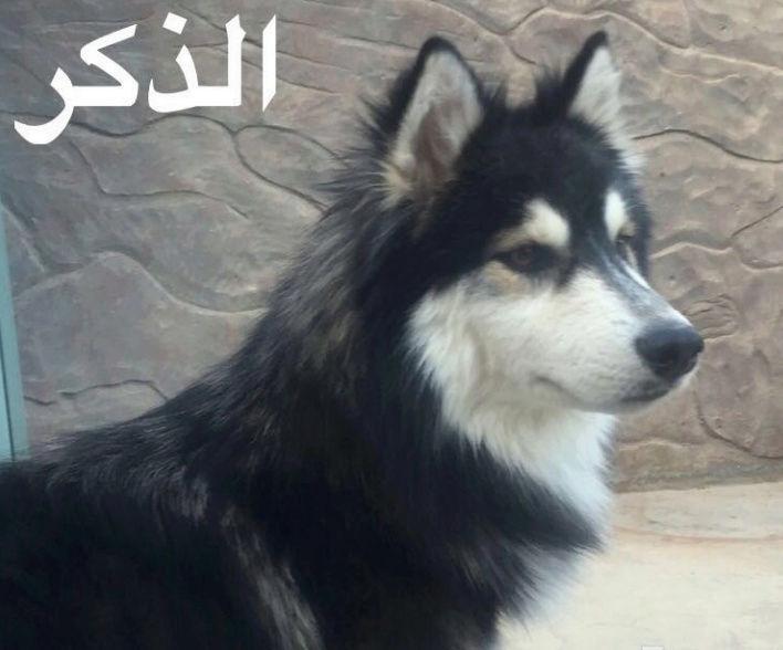 للبيع  جوز هاسكي في الرياض   Ii21