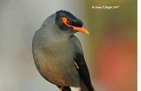 طيور المينا عمرها شهرين تقريبا  Iii10