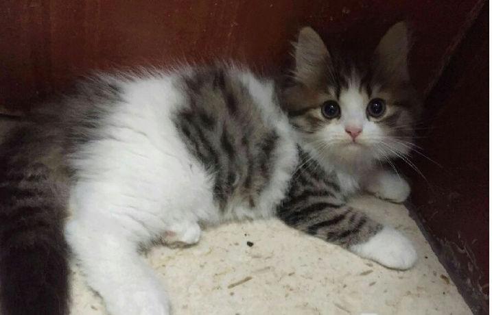 ثلاث قطط بيكن شيرازي في الرياض  J10