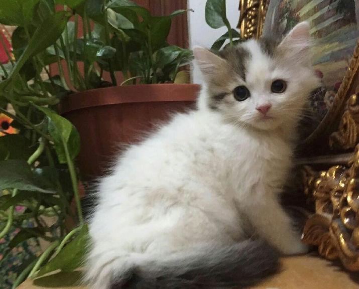 ثلاث قطط بيكن شيرازي في الرياض  Ju10