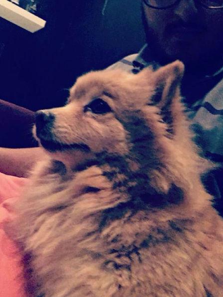 كلب زينة من نوع البوميرينيان  K11