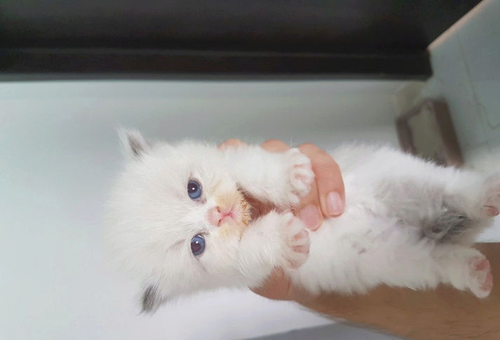 قطط صغيرة شيرازي للبيع K110