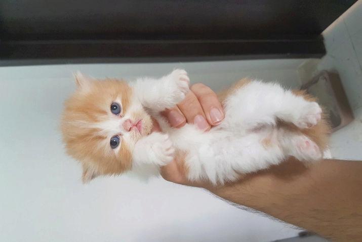 قطط صغيرة شيرازي للبيع K211