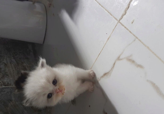 قطط صغيرة شيرازي للبيع K310
