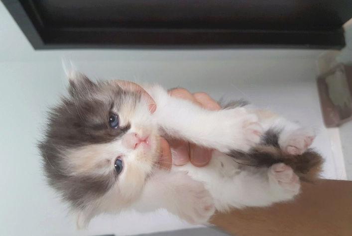 قطط صغيرة شيرازي للبيع K510