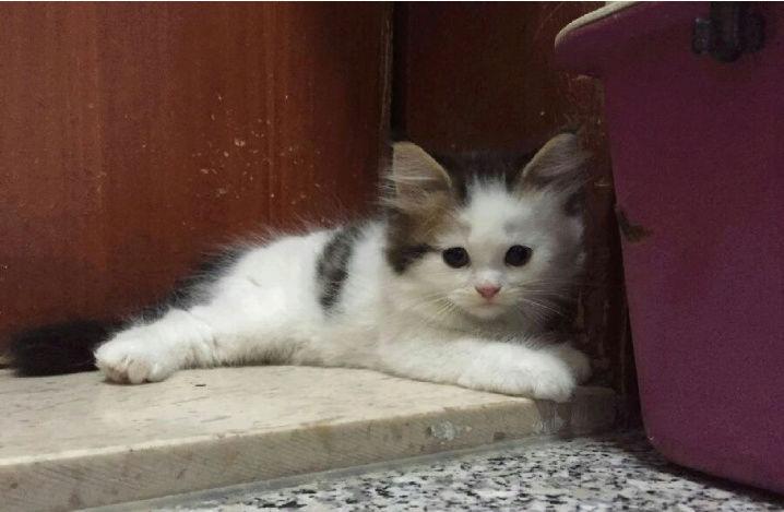 ثلاث قطط بيكن شيرازي في الرياض  Ki11