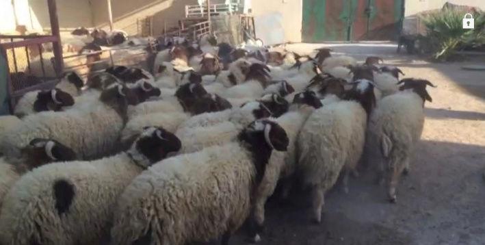 خرفان نعيم جذعان ناهية في حفر الباطن  Ki13