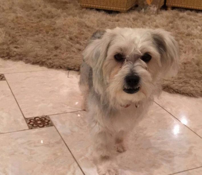 كلب مالتيز انثى عمرها 9 شهور  Lo10