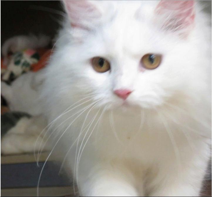 قطة انثى هاف بيكي فيس  O109