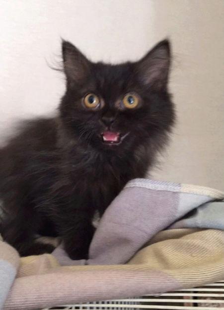 قطة بلاكي صغيرة هاف بيكي O117