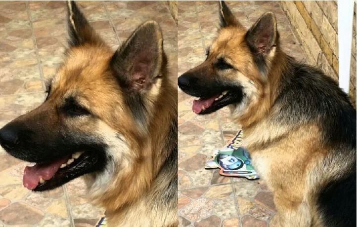 كلب جيرمن شيبر ورك لاين لونق هير O118