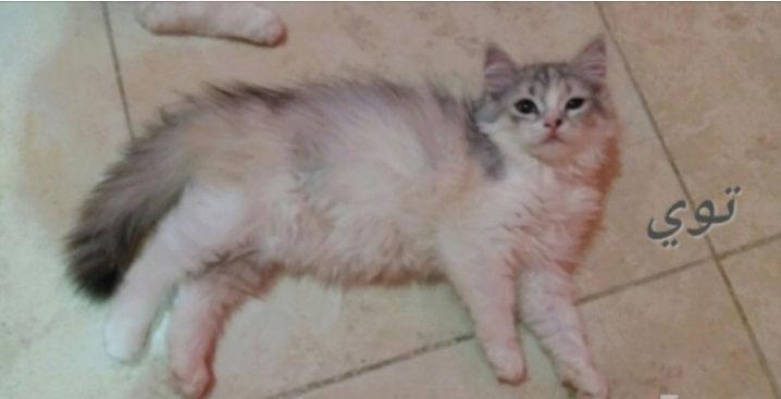 قطط شيرازية مون فيس لعوبة O122