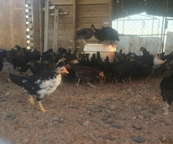 دجاج بلدي صحه ممتازة  للبيع O22