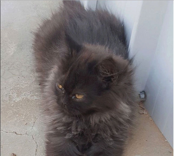 قطط ذكور همالايا وشيرازي  O27