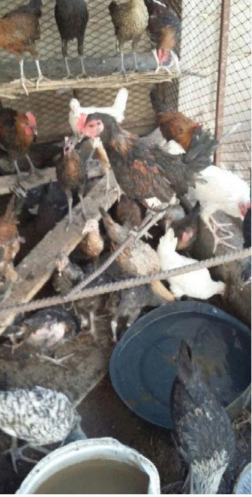 دجاج بلدي للبيع القصيم  O59