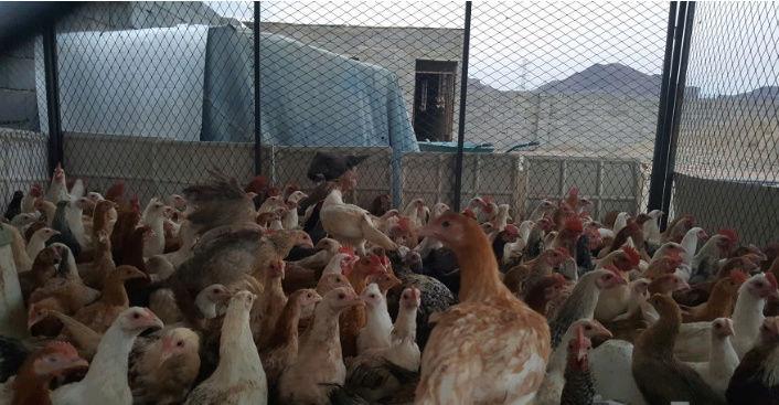 400 حبة دجاج بلدي بشاير O61