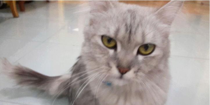 قطه انثى للبيع اليفه O65