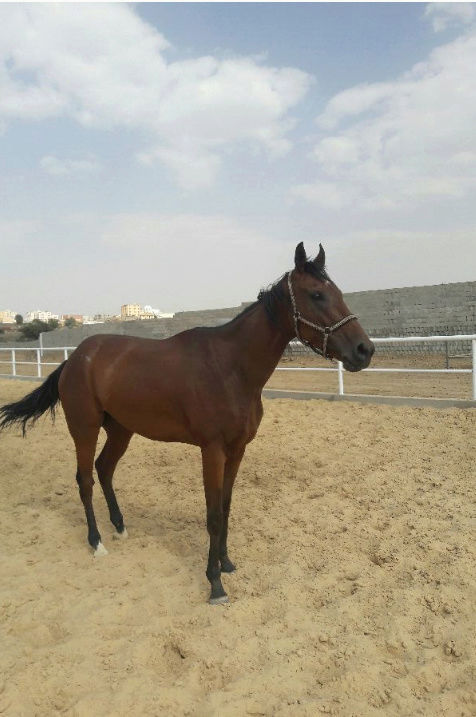 حصان انجليزي عمره خمس سنوات  O72