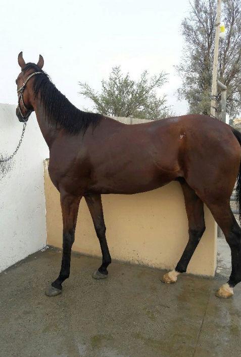 حصان انجليزي عمره خمس سنوات  O73