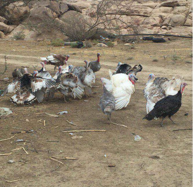 17 حبه دجاج رومي  O74