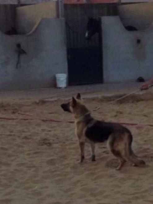 كلب جيرمان شيبرد لونق هير O85