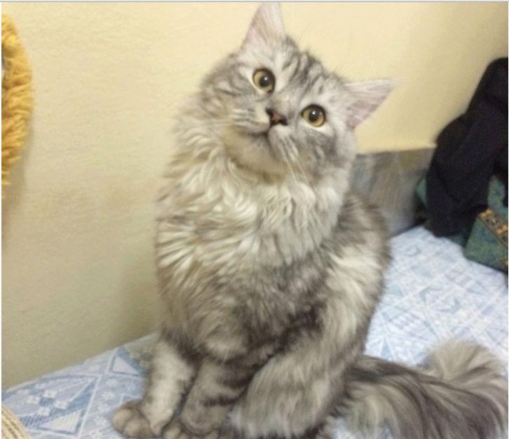 قطه شيرازي امريكي للبيع Oi11