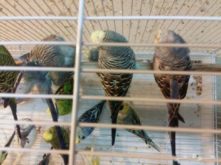 9اجواز طيور حب الطائف  Oi12