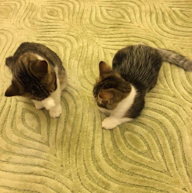قطتان شيرازي صغيرتين و اليفتين  Oi15