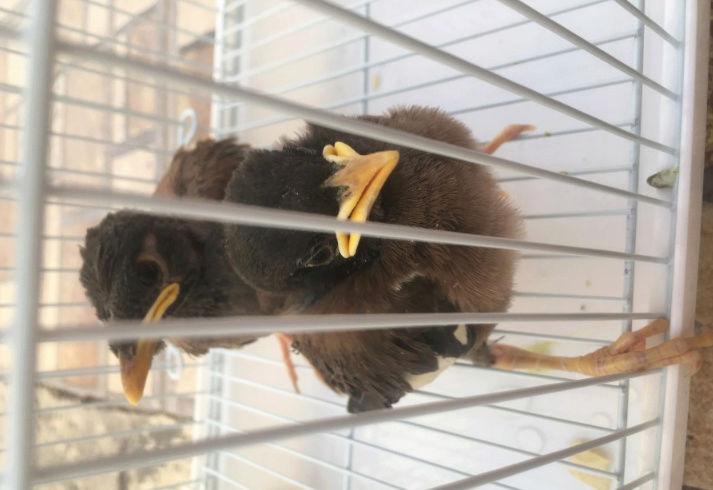 طيور المينا عمرها شهرين تقريبا  Oo15