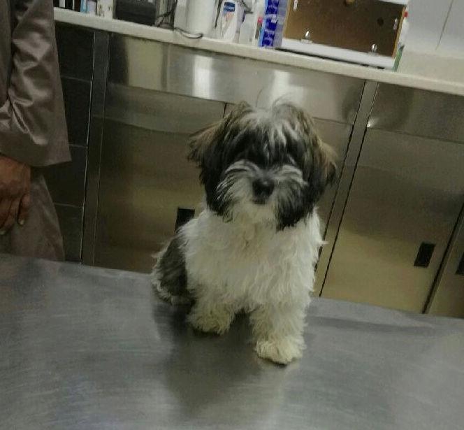 كلب شيتزو دلع بسعر 3000ريال Oo35