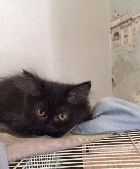 قطة بلاكي صغيرة هاف بيكي Oo37
